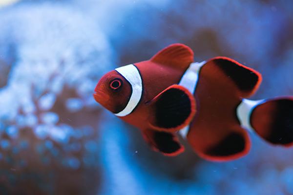 海水魚水槽・カクレクマノミ