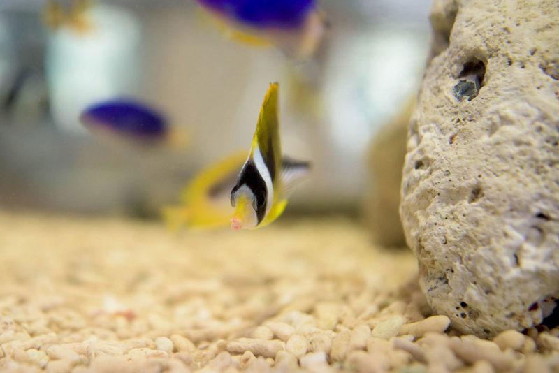 チョウハンの幼魚