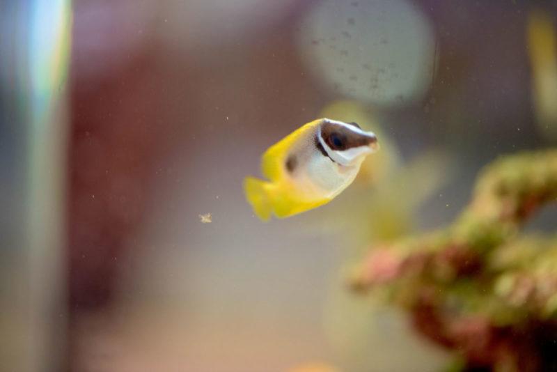 ヒフキアイゴの幼魚