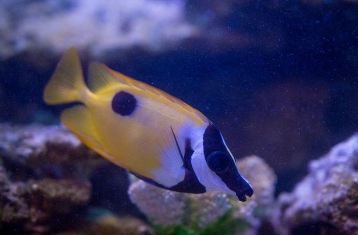 ヒフキアイゴの成魚