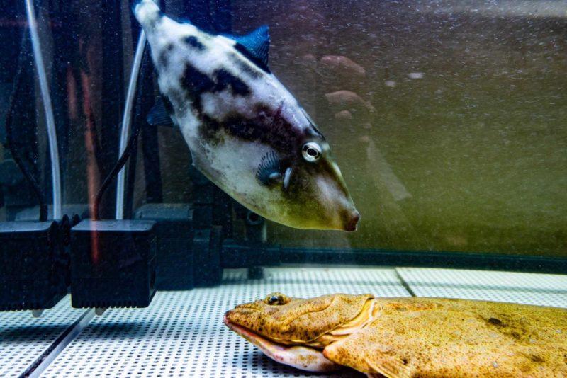 生簀水槽のウマヅラハギとヒラメ