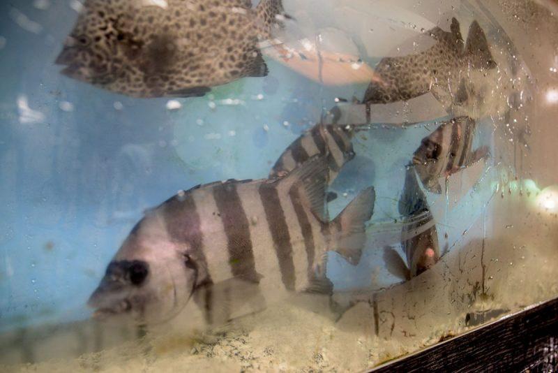 石鯛が入った活魚水槽