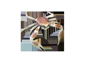 アカホシカニダマシ
