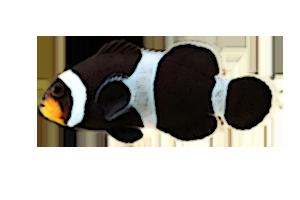 ブラックオセラリス