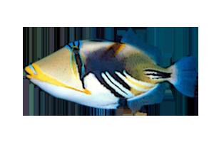 ムラサメモンガラ