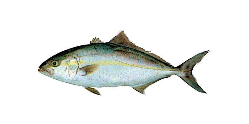 カンパチの活魚について