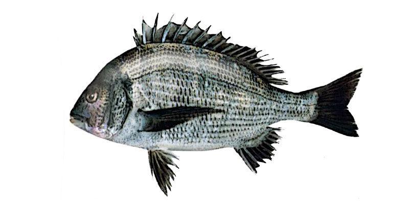 クロダイ(チヌ)の活魚について