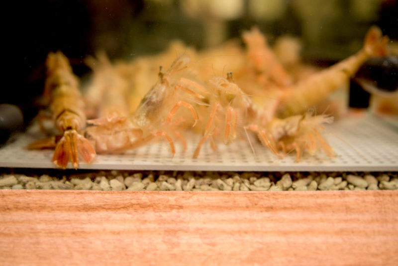 生け簀水槽の活きた白エビとモサエビ