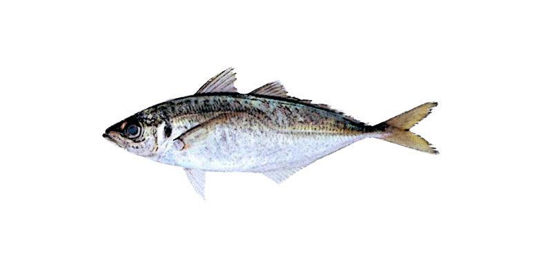 マアジの活魚について
