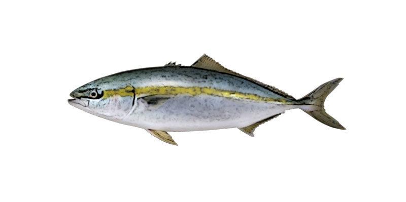 ブリ(ハマチ)の活魚について