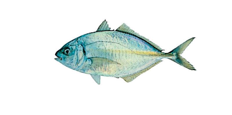 シマアジの活魚について
