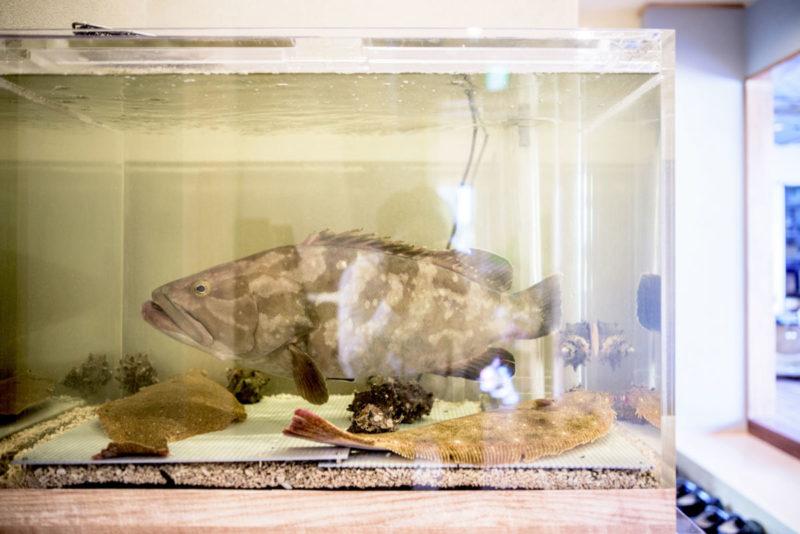 クエが入った活魚水槽 業務用生簀