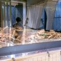 舞鶴にある魚源様のズワイガニ活魚水槽