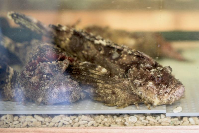 生簀水槽 活魚水槽 オコゼ