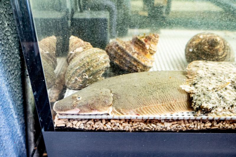 ヒラメやサザエが入る活魚水槽