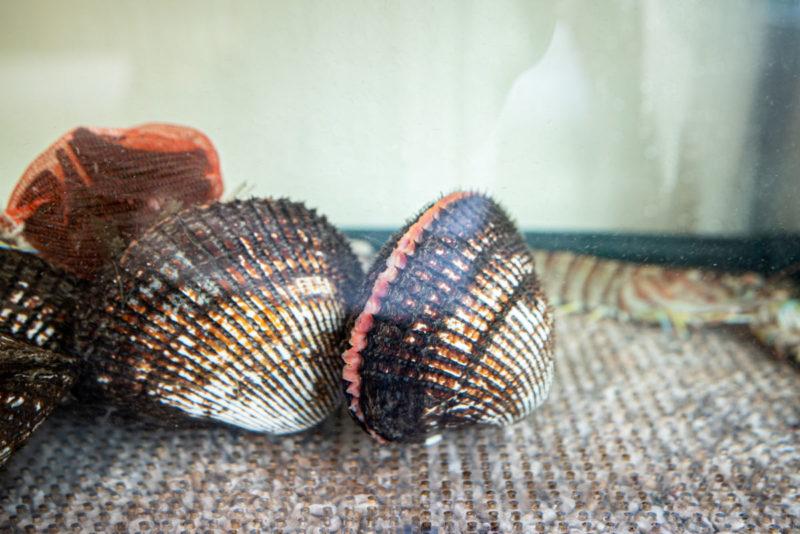赤貝が入った活魚水槽